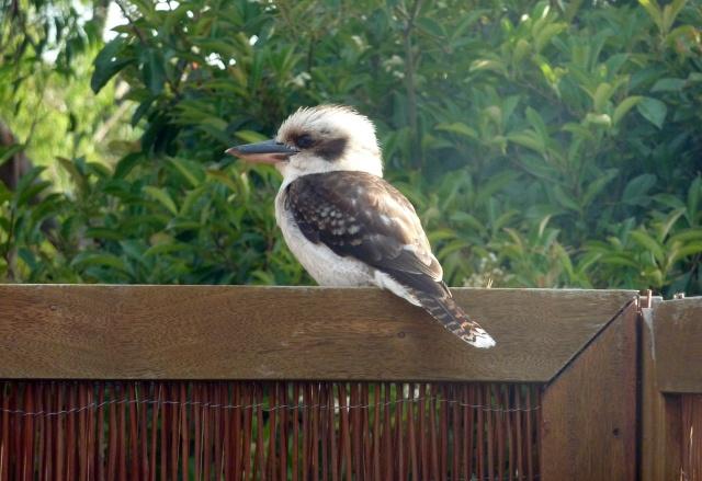 A native Australian Kookaburra lands on our back deck.