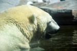 Very Big Polar Bear